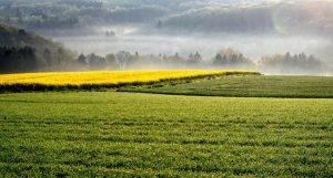 la coltivazione della colza