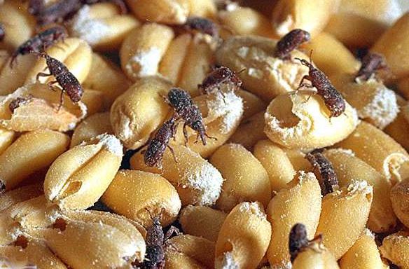 punteruolo del grano