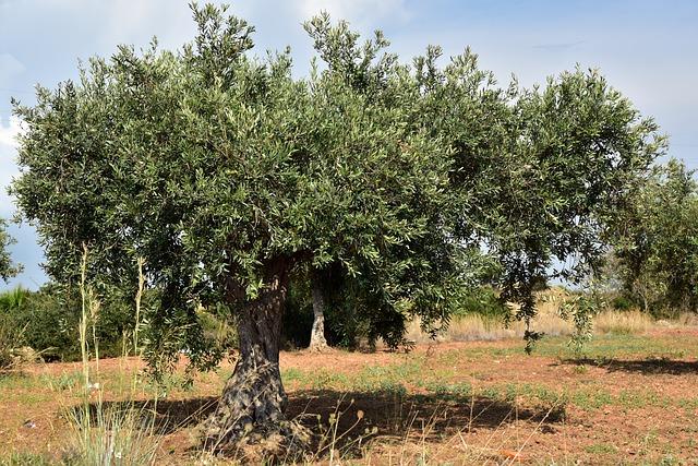 olivicoltura biologica