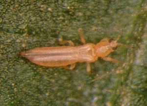 Frankliniella occidentalis