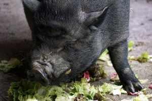 cosa mangiano maiali