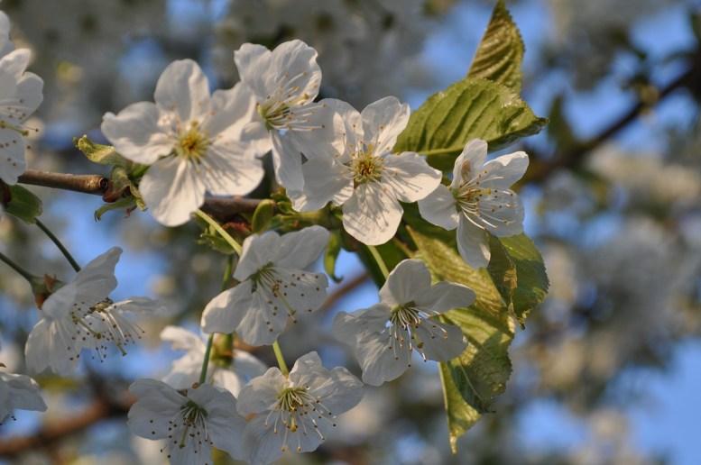 Innesto del ciliegio