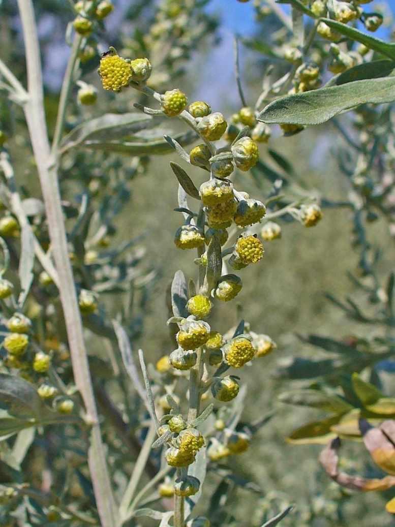 pianta artemisia gialla