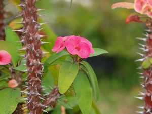 spine di cristo pianta