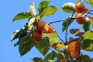 coltivare cachi vaniglia