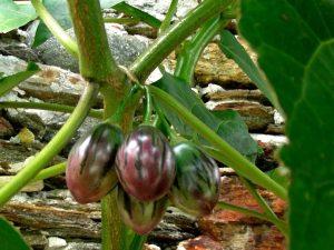 coltivare-il-tamarillo