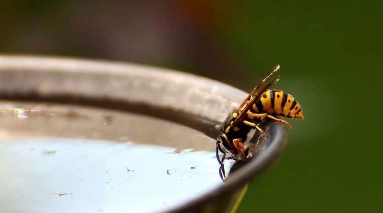 cosa mangiano vespe
