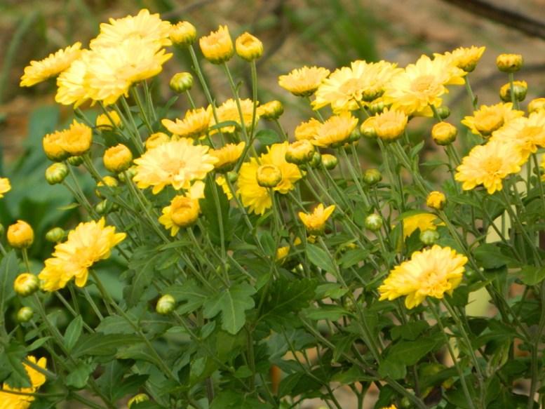 Fiori dell'erba di San Pietro
