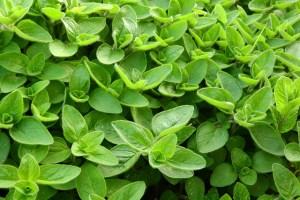 foglie gialle maggiorana