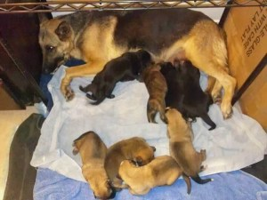 Gertrude and her litter, a Dogpatch family kept out of the shelter because the Pope's fostered them