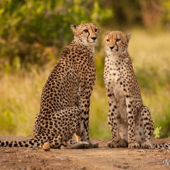 Cheetah and cub (454F10672)