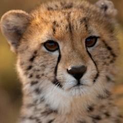 Cheetah cub (454F20842)