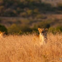 Lioness (454F21481)