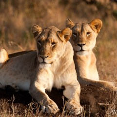 Lioness (454F21820)