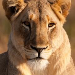 Lioness (454F21876)