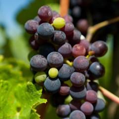 Grapes (454F23305)