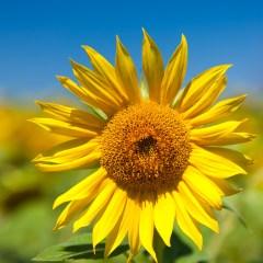 Sunflower (454F23358)