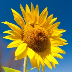 Sunflower (454F23366)
