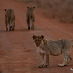 Lion (454F8509)