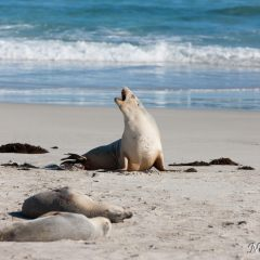 Sea lion (454F39200)