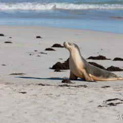 Sea lion (454F39236)