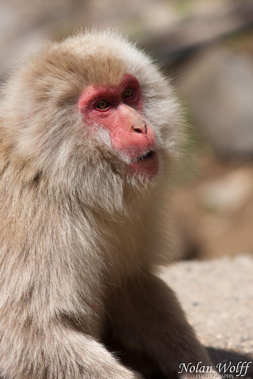 Snow monkeys (454F43009)