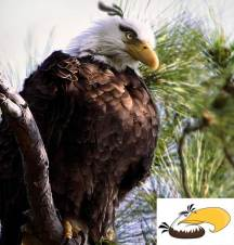 angry-birds-irl-concept-great-eagle-bird