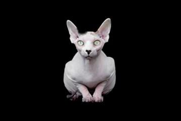 gato-esfinge-por-alicia-rius-11