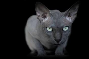 gato-esfinge-por-alicia-rius-12
