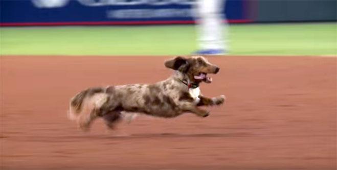 carrera-de-perros-salchichas