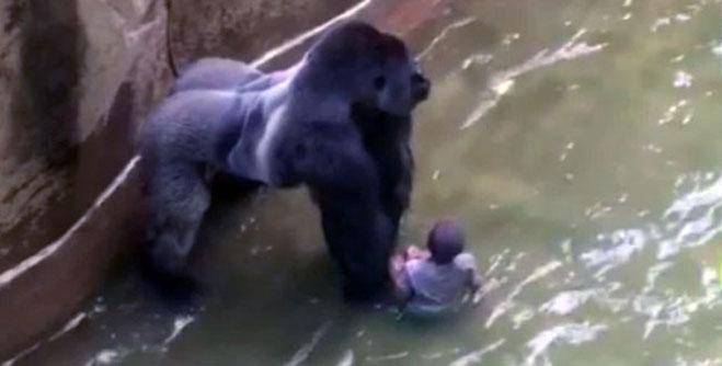 gorilla-harambe-zoologico-cincinnati-accidente-2016