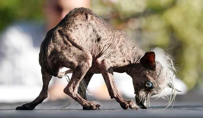 sweepee-rambo-el-perro-mas-feo-del-mundo-2016