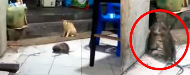 gato-viendo-pelea-de-2-ratas