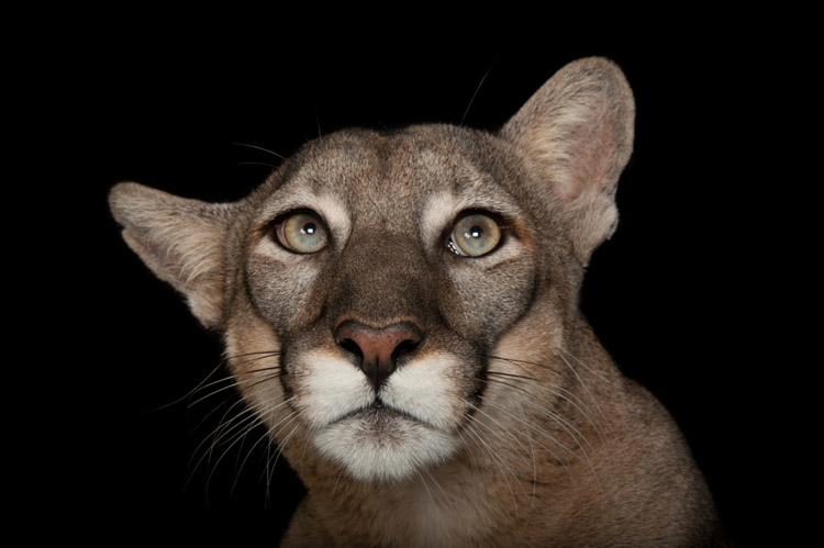 A Florida panther (Puma concolor coryi) at Tampa's Lowry Park Zoo.
