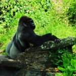 Gorilla Falls Trail at Disney's Animal Kingdom - Animal Kingdom tips for adults