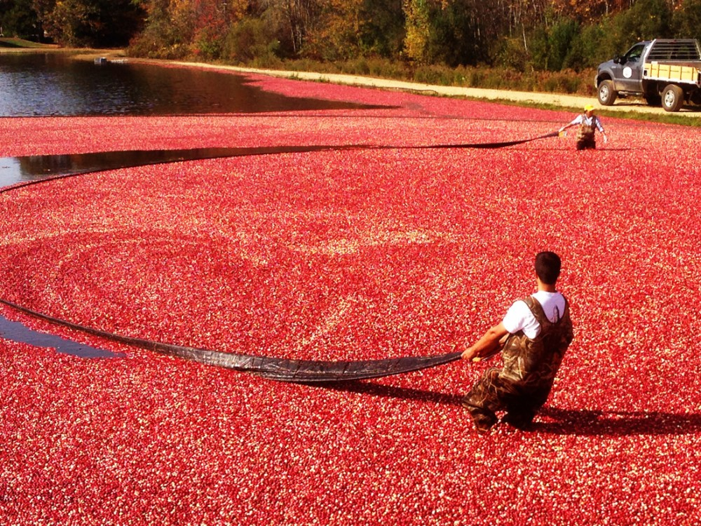 Men wading in a flooded cranberry bog