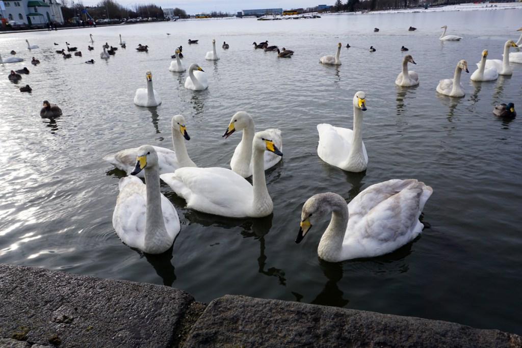 Swans in Tjornin lake in Reykjavik