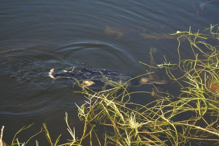 Anhinga swimming in the Everglades