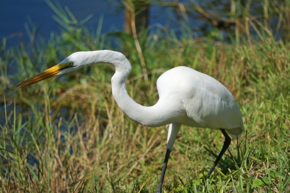White egret in tall grass at Everglades National Park