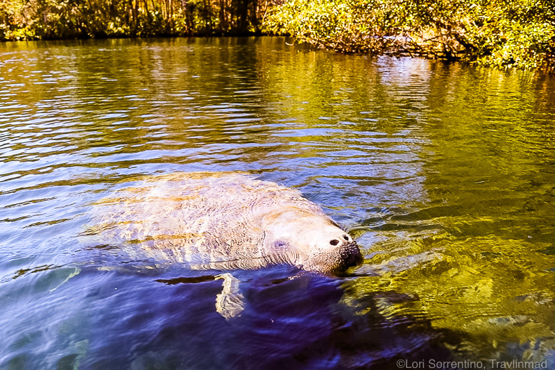 Manatee in Everglades National Park
