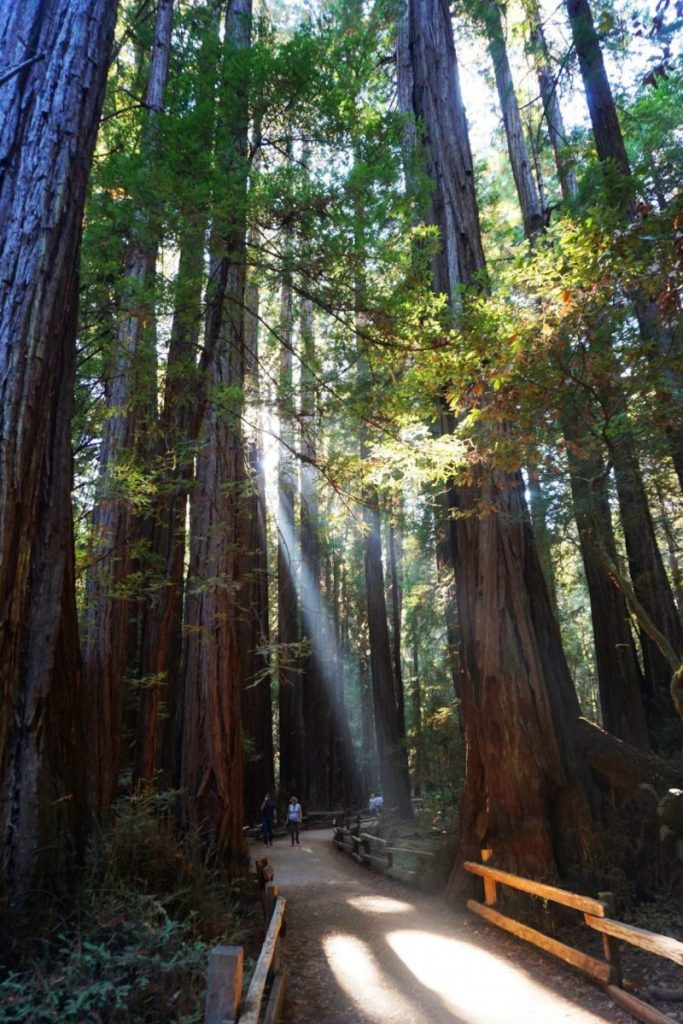Sunlight filtering through the redwood trees in Muir Woods National Monument