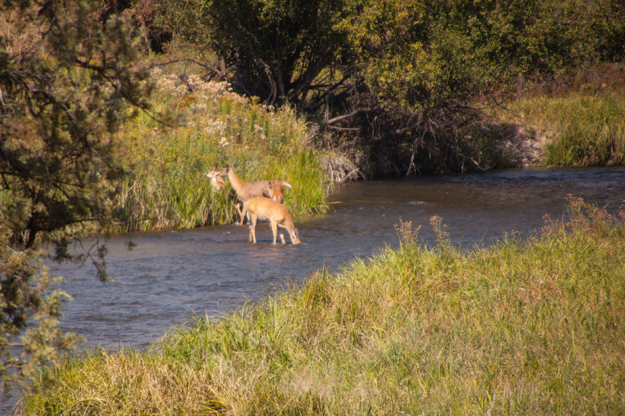 Deer in water at the National Bison Range