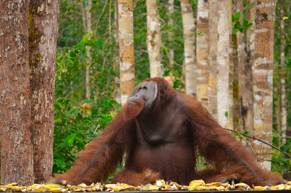 Seeking orangutans in Borneo