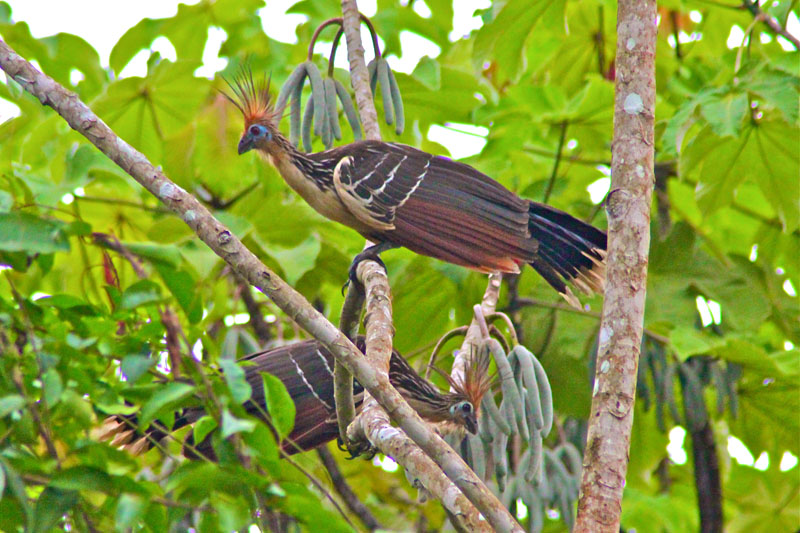 Photo of a bird in the Peruvian Amazon