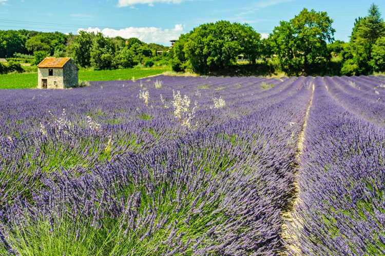 Rows of lavender in a Provence lavender field
