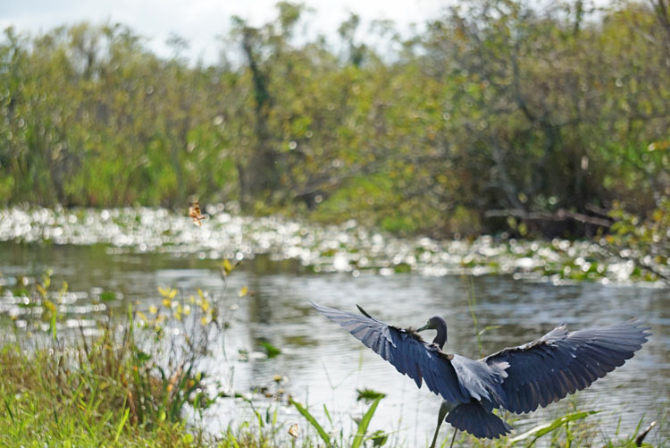 Anhinga seen flying on a Shark Valley tram tour