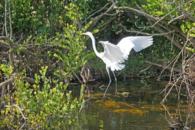 White heron near the Shark Valley Visitor Center in the Everglades