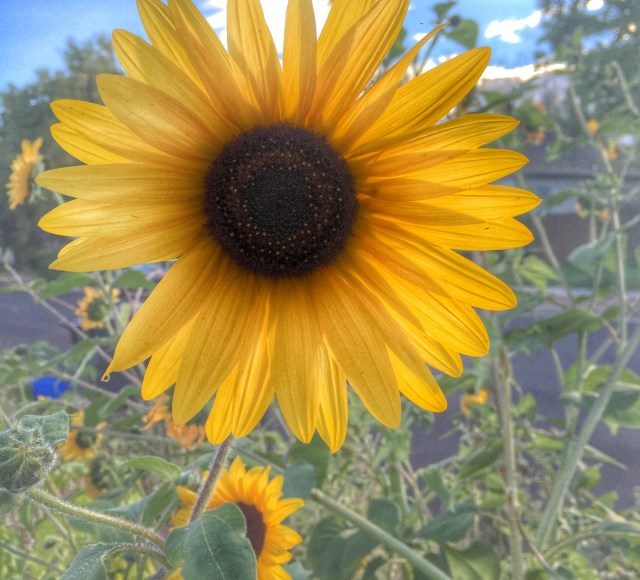 Neighborhood Sunflower