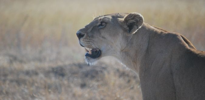Female lion in Serengeti National Park and Masai Mara National Park in Tanzania and Kenya