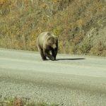Oso Grizzly - Alaska
